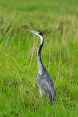 Black headed heron — Stock Photo