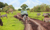 Game drive — Stock Photo