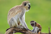 Black faced vervet monkeys — Stock Photo