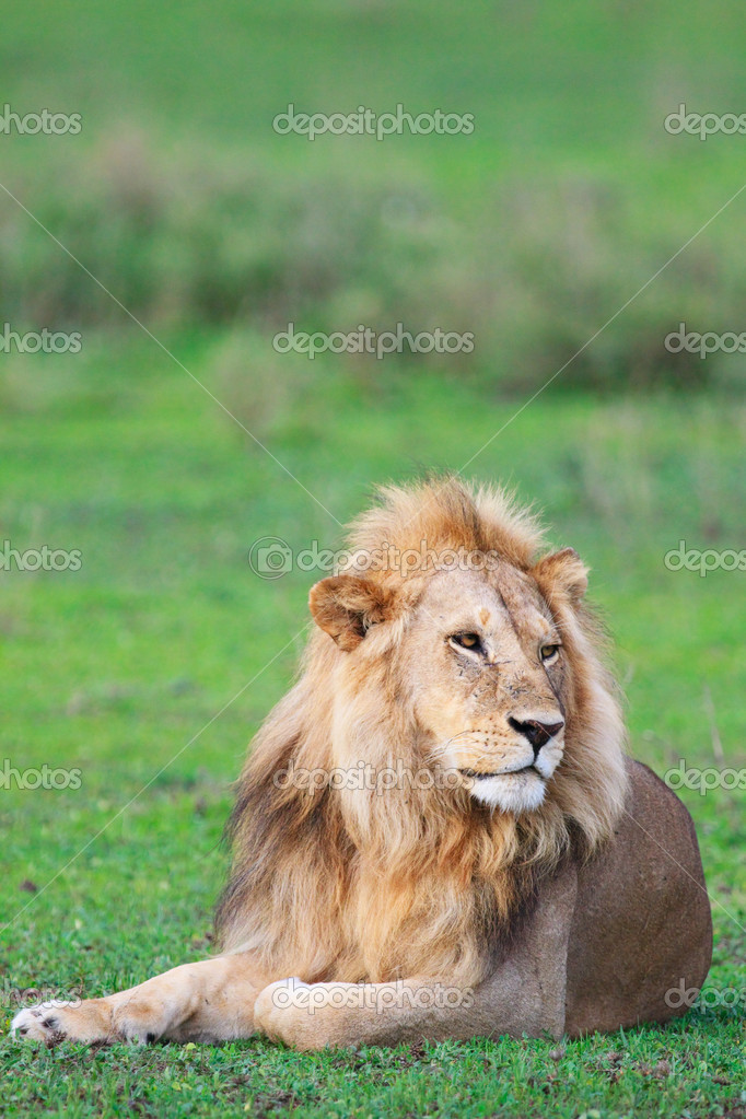 Lion in Serengeti national park, Tanzania — Stock Photo #3724598