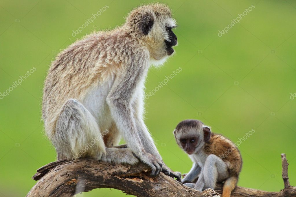 Mother and baby black-faced vervet monkeys. Serengeti national park, Tanzania. Focus on mother. — Stock Photo #3724619