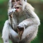 porträtt av vilda apa — Stockfoto