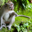 Foto de Stock  : Portrait of wild monkey