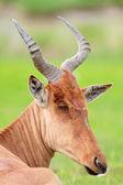 Closeup portrait of hartebeest antelope — Stock Photo