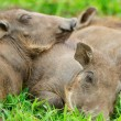 Baby warthogs sleeping in grass - Stock Photo