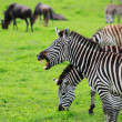 Zebra showing teeth - Foto Stock