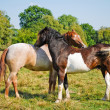 Two Horses in Love — Stock Photo #3506852