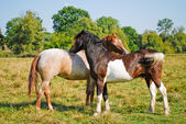 Two Horses in Love — Stock Photo