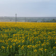 Field of ripe sunflowers — Stock Photo