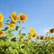 Sunflower — Stock Photo #3745434