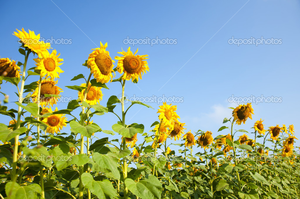 Sunflower field over blue sky — Stock Photo #3745434