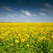 Sunflower field — Stock Photo #3752593