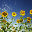 Sunflower field — Stock Photo #3752609