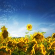Sunflower leader — Stock Photo #3752625