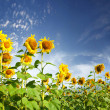 Sunflower — Stock Photo #3782346