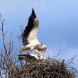 Mating stork couple — Stock Photo #2935618
