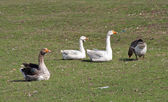 Sitting geese — Stock Photo