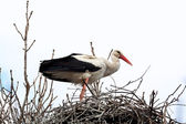 Stork standing in the nest — Stockfoto