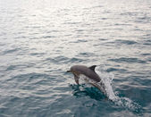 Dolphin jumping from water — Stock Photo