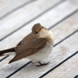 Cettia warbler — Stock Photo