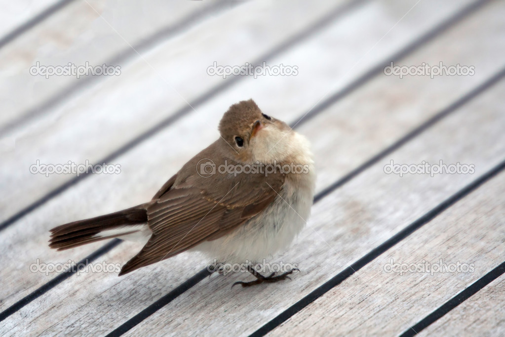 Cettia warbler sitting on boat deck — Stock Photo #3285774
