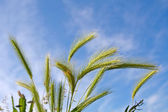 Wheat spica — Stock Photo