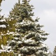 Fir forest — Stockfoto
