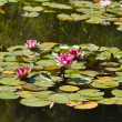 Water-lily — Stock Photo #3335200
