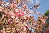 Fleur de pomme — Photo