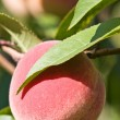 Peach — Stock Photo #3727172