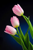 Pink tulips. — Stock Photo