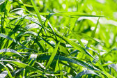 Fresh morning dew on green grass — Stock Photo