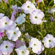 Group of blossoming convolvulus flowers on green grass — Stock Photo
