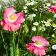 Pink poppies and camomile flowers - Stock Photo