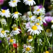Blossoming camomile flowers - Stock Photo