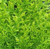 Cypress background — Stock Photo