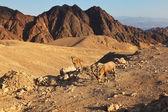 The wild mountain goats in stone desert — Stock Photo