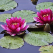 Stock Photo: Pond with the blossoming pink lilies