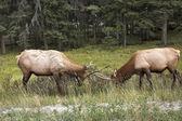 Struggle of deers. — Stock Photo