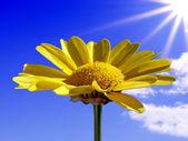 Flowerses of the chrysanthemum on blue background — Stock Photo