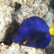 Yellowtail tang - Stock Photo