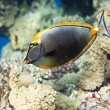 Elegant unicornfish - Stock Photo