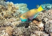 Heavybeak parrotfish — Stock Photo