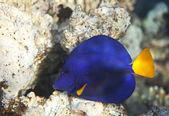 Yellowtail tang — Stock Photo