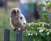 Long-eared Owl (Asio otus). — Stock Photo