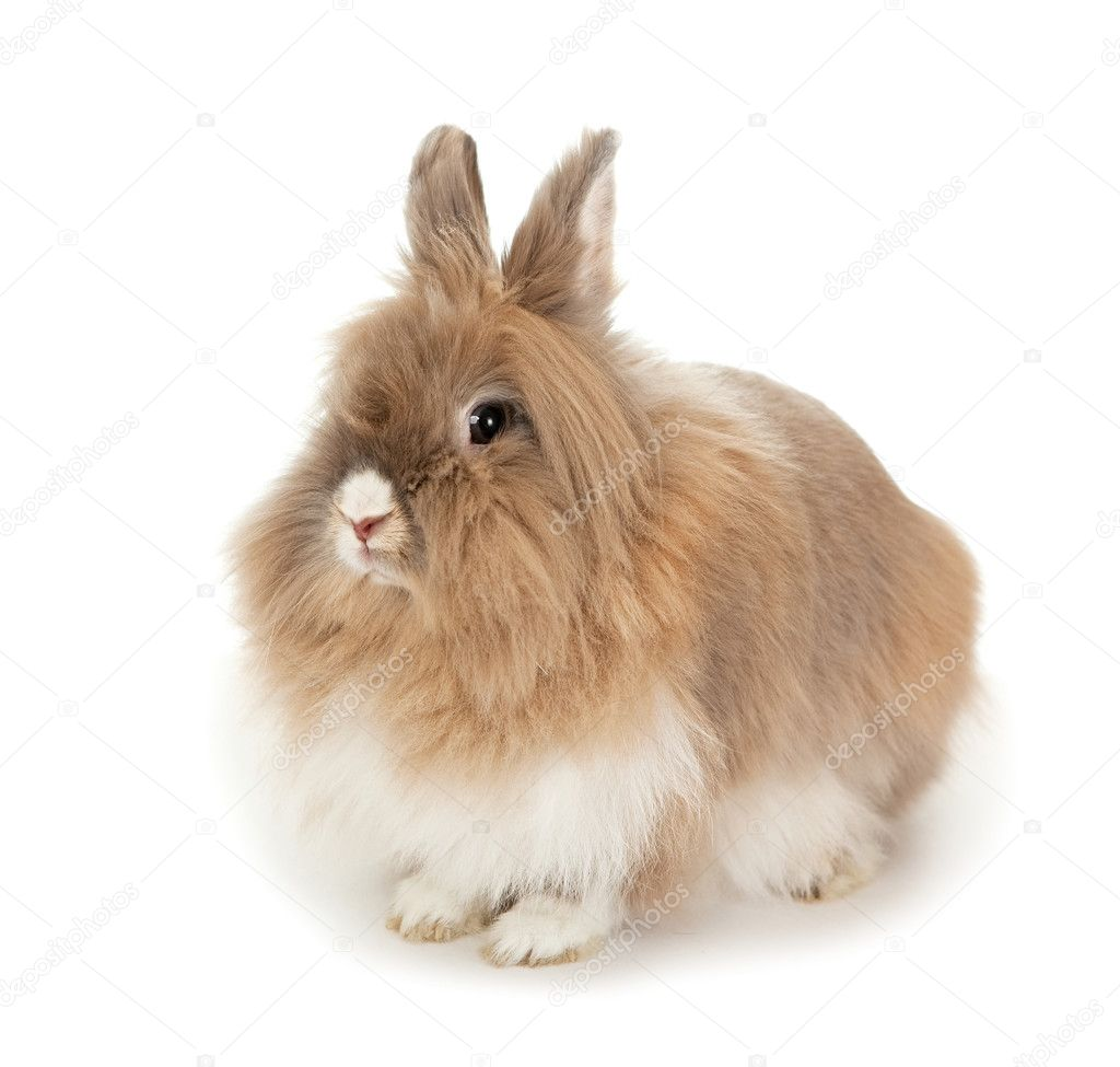 Brown and white lionhead rabbit - photo#17