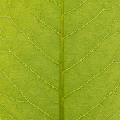 Green leaf texture, closeup — Foto Stock