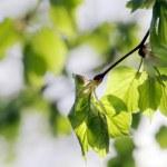 Aspen tree branch — Stock Photo