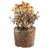 Dry flowers in the ground — Stock Photo