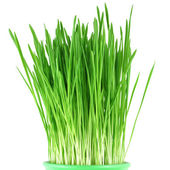 Close-up of green oat grass in a pot — Stock Photo